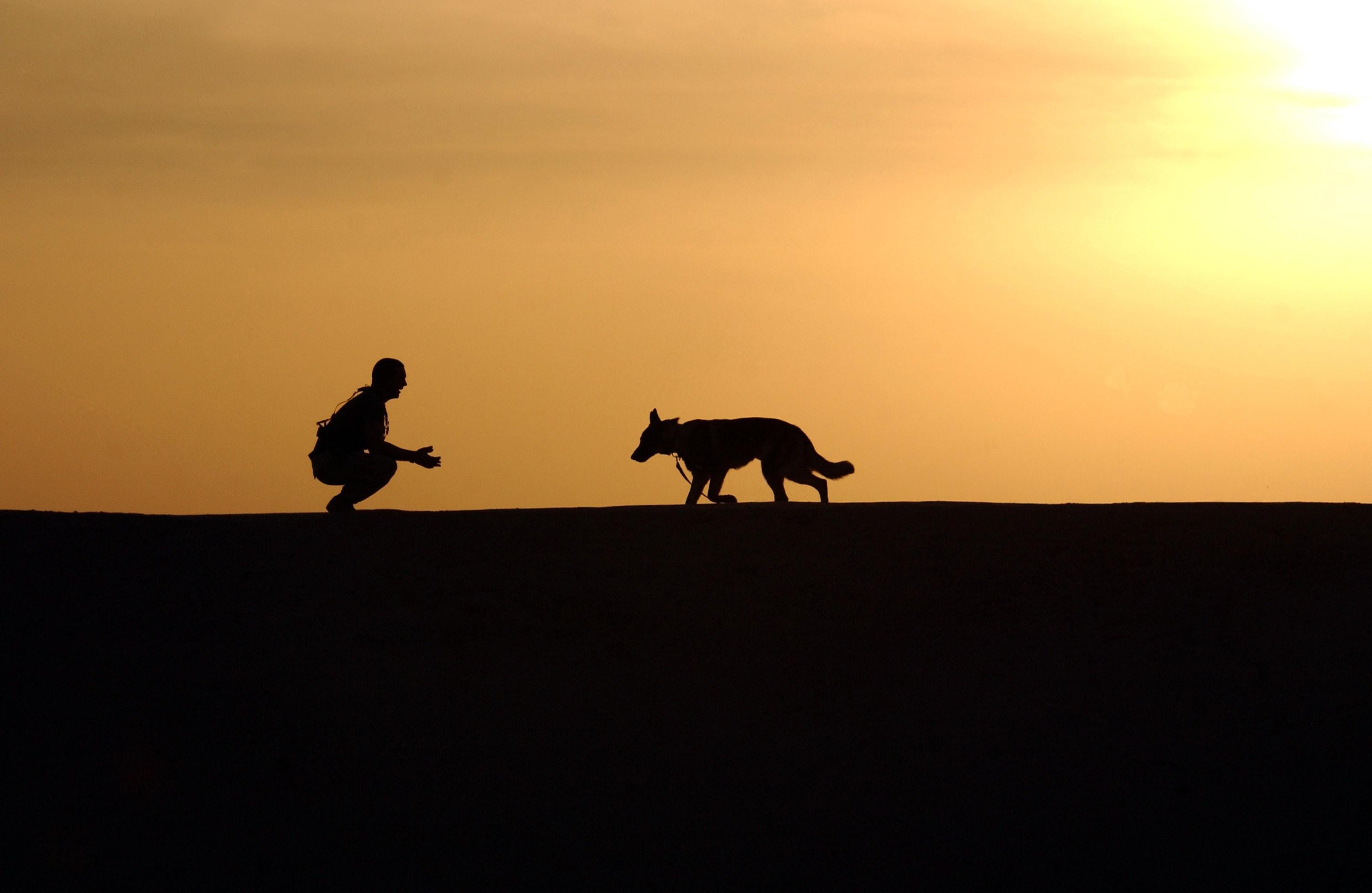 Canine dog german shepherd 38284