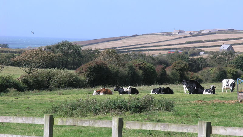 Medium crop view with cows 1