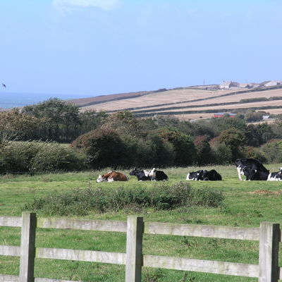 Thumb view with cows 1