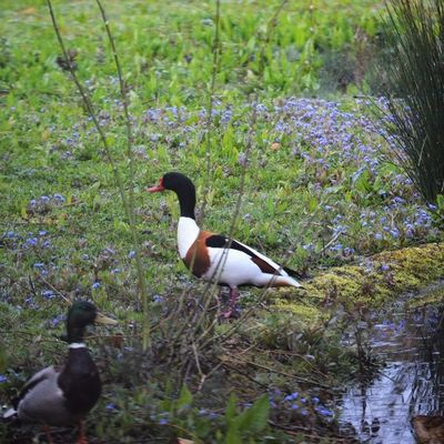 Thumb shelduck