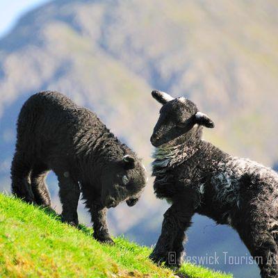 Thumb herdwick lambs