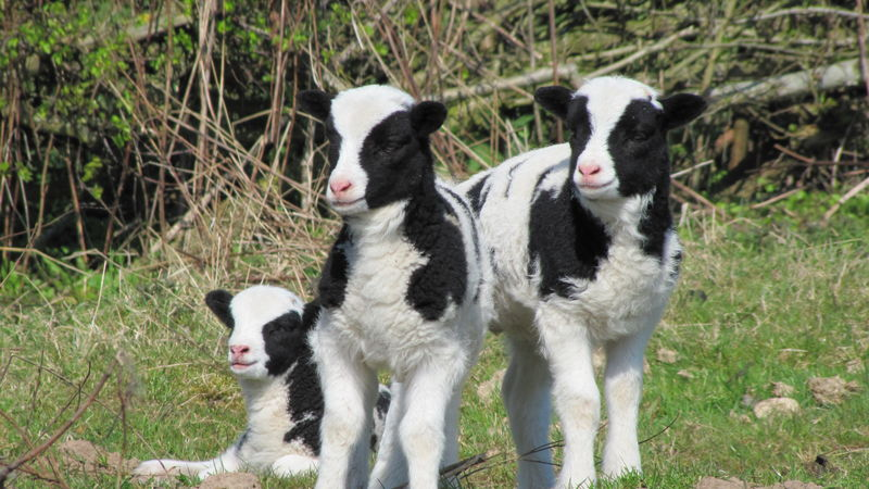 Medium crop lambs