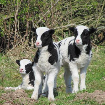 Thumb lambs