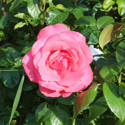 Thumb rose