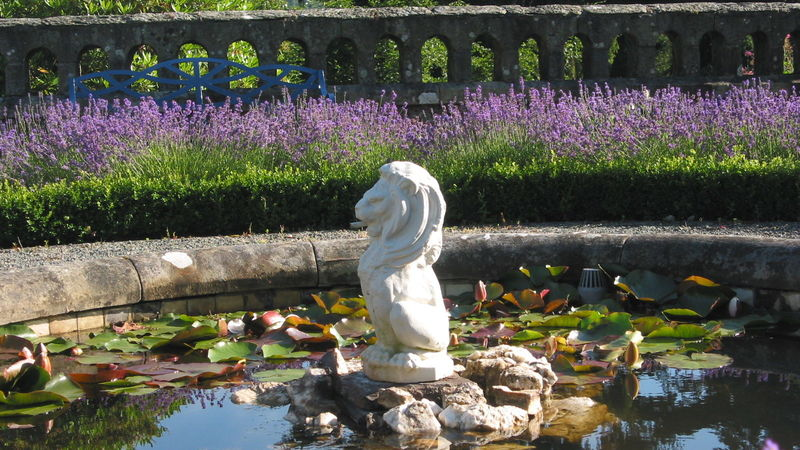 Medium crop lion on pond penmaenuchaf hall